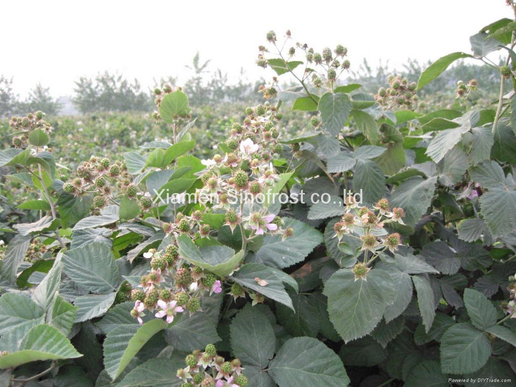 IQF Blackberries,Frozen Blackberries,cultivated 11