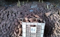 IQF purple sweet potato,sliced/diced 6