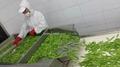 冷凍荷蘭豆,速凍荷蘭豆 7