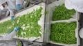 冷凍荷蘭豆,速凍荷蘭豆 8