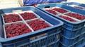 IQF Raspberries,Frozen Raspberries,wholes/brokens/crumbles/puree 14