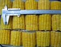 IQF sweetcorns COB,Frozen sweet corns COB,IQF sweetcorns kernels