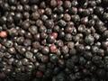 IQF Blueberries,  Frozen Blueberries,IQF Bilberry,Frozen Bilberries 10