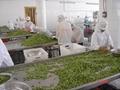 冷凍青刀豆,速凍青刀豆 10