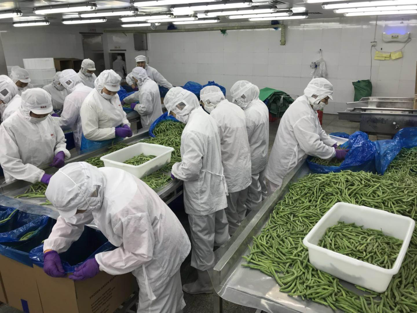 IQF whole green beans ,Frozen green beans wholes,IQF cut green beans 9