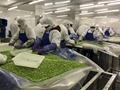 IQF Mukimame,IQF Shelled Edamame,IQF Green Soyabeans Kernerls