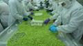 IQF Glazed Edamame in pods,Frozen Glazed Edamame in pods,IQF glazed soybeans