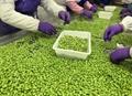 IQF Glazed Edamame in pods,Frozen Glazed Edamame in pods,IQF glazed soybeans 12