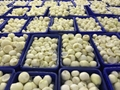 IQF Diced Onions,Frozen Onions Dices,IQF Onion Dices,Frozen Diced Onions 10