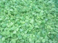 IQF Green Peppers Dices,Frozen Green Pepper Dices,IQF Green Pepper Cubes
