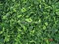單凍菠菜段,盤凍菠菜段,冷凍菠菜葉球 16