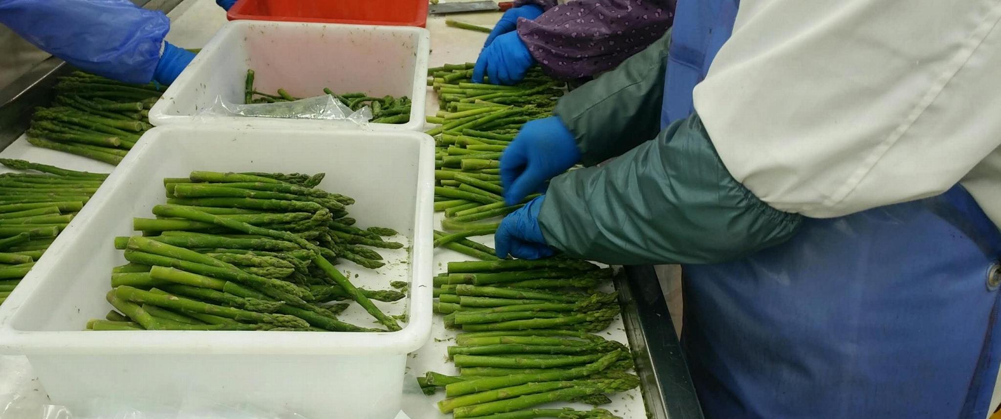 冷凍綠蘆筍,速凍綠蘆筍,冷凍蘆筍,速凍蘆筍, 10