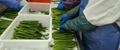 冷凍綠蘆筍尖段,速凍綠蘆筍尖段 9
