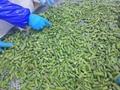 冷凍綠蘆筍尖段,速凍綠蘆筍尖段 5