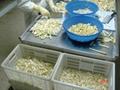 冷凍白蘆筍尖段,速凍白蘆筍尖段 3