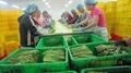 冷凍綠蘆筍,速凍綠蘆筍,冷凍蘆筍,速凍蘆筍, 15