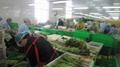 冷凍綠蘆筍尖段,速凍綠蘆筍尖段 17