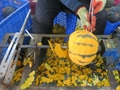 IQF Diced Pumpkin,Frozen Pumpkin Dices,BQF Pumpkin Puree,Frozen Cut Pumpkin