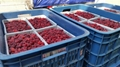 IQF raspberries crumbles,Frozen raspberry crumbles,red,cultivated 11