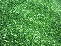 冷凍青蔥丁,速凍青蔥丁 6