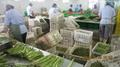 IQF Green Asparagus Cuts & Tips,Frozen Green Asparagus Tips & Cuts 8