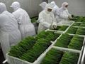 冷凍綠蘆筍,速凍綠蘆筍,冷凍蘆筍,速凍蘆筍, 18