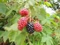 冷凍黑莓,速凍黑莓 12