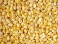 IQF Sweet Cob Corn,Frozen Sweet Corn on the COB,Frozen Cob Corn 12
