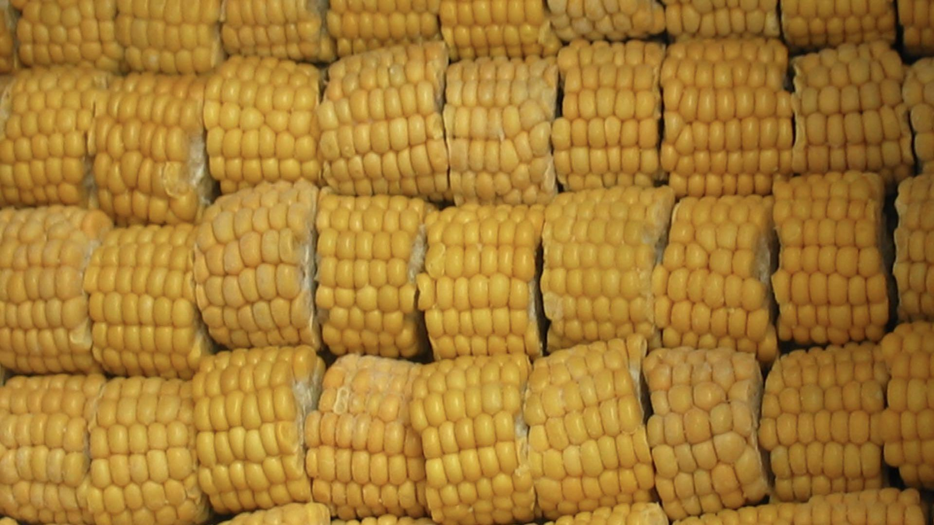 IQF Sweet Cob Corn,Frozen Sweet Corn on the COB,Frozen Cob Corn 1