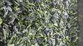 單凍菠菜段,盤凍菠菜段,冷凍菠菜葉球 18