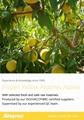 冷凍黃桃,速凍黃桃 18