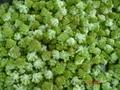 IQF Romanesco Florets, Frozen Romanesco