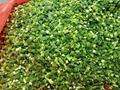 冷凍韭菜段,速凍韭菜段 8