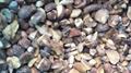 冷凍松菇塊,速凍松菇塊