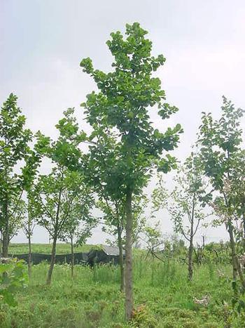 大规格乡土树种——榆树/椿树/构树(楮树)/槐树(刺槐/洋槐)/苦楝