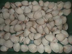 White clam