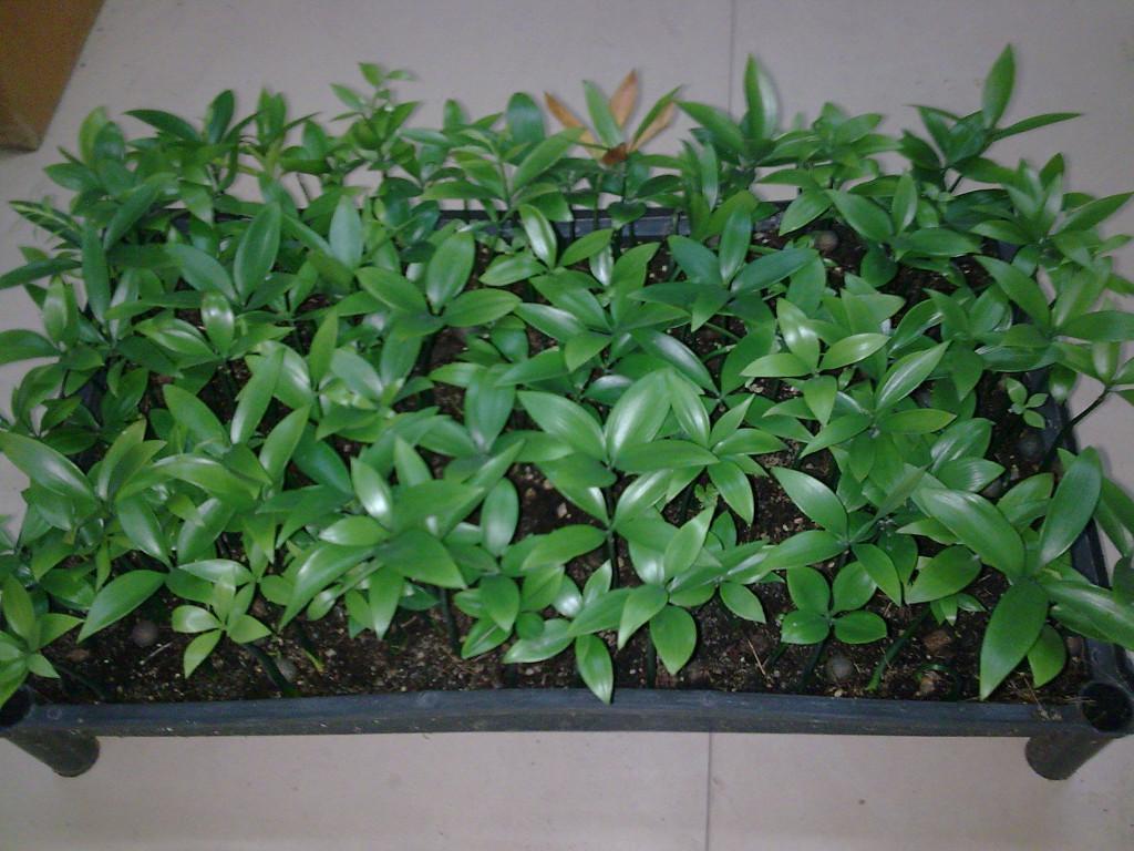 Decussocarpus 1