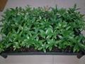 Decussocarpus