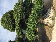 Ficus Bonsai (Hot Product - 1*)