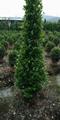 Ficus Corn