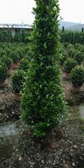 Ficus Corn (Hot Product - 1*)