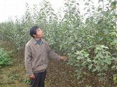 2014年秋寒富苹果苗