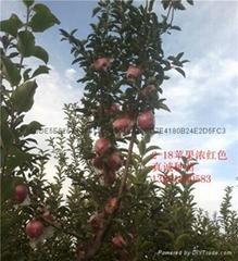 濃紅2-18蘋果