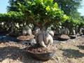 ginseng Ginseng ficus