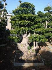 Multi ficus root