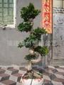 S Shape ficus root