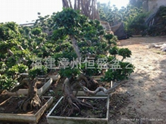 Double S Shape ficus root