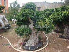 Shima Root Ficus