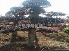 Chinese Loropetalum bonsai