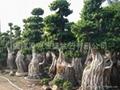 Nanan root Ficus